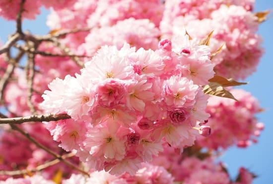 Les fleurs roses des cerisiers japonais
