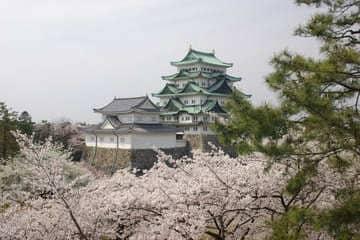Les sublimes cerisiers en fleurs avec le château de Nagoya en fond