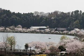Une vue sur le lac Senba et ses cerisiers qui font le tour