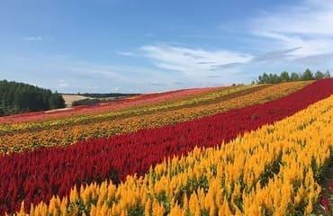 Les magnifiques champs de fleurs de Hokkaido
