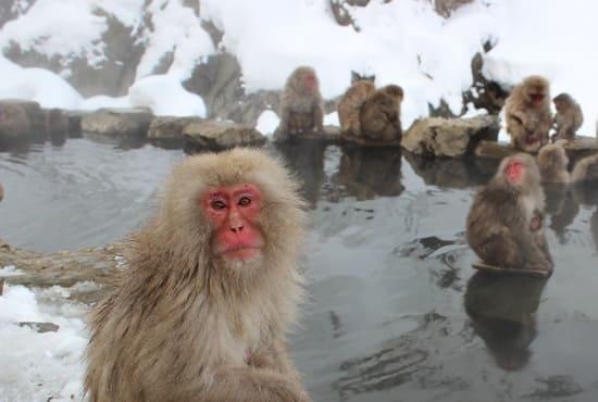 Un bain japonais avec des singes qui se baignent
