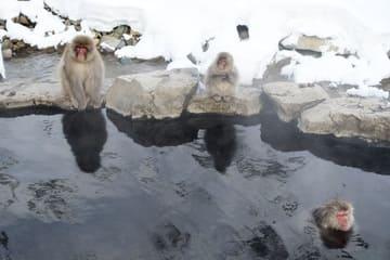 Des singes se baignant dans une source thermale