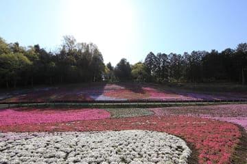 Un champ de fleurs colorés proche de la ville de Saitama