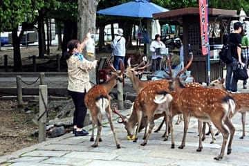 Des japonais donnent à manger aux animaux du parc