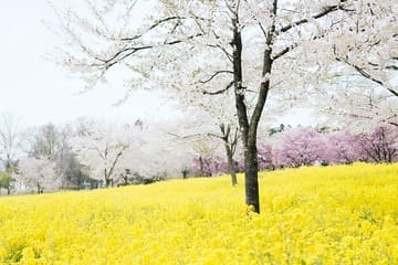 Les fleurs colorées de Maebashi