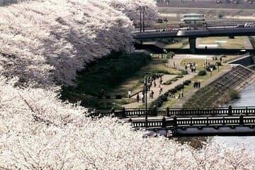 Les splendides cerisiers qui font le tour de la rivière Asuwa