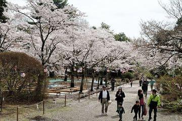 Promenade dans le jardin sous les beaux cerisiers
