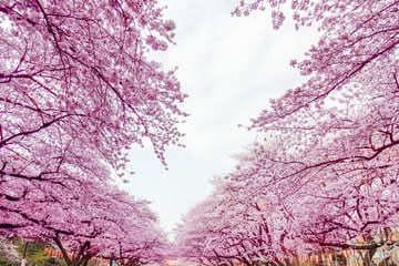 Photo des cerisiers en fleurs au parc du quartier de Taitô-ku