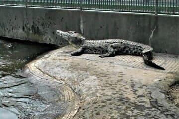 Photo des crocodiles dans le bain à Beppu