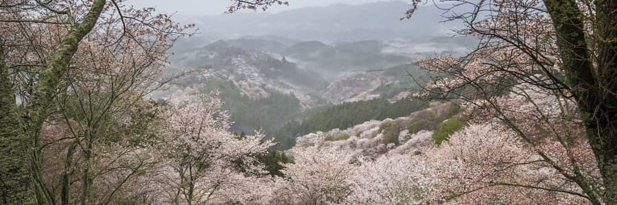 Une vue panoramique sur les cerisiers depuis le mont Yoshino